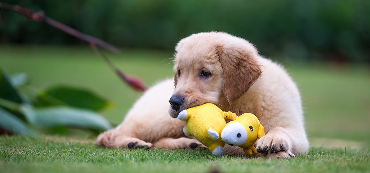 Can Dogs Think Toys Are Puppies Wag