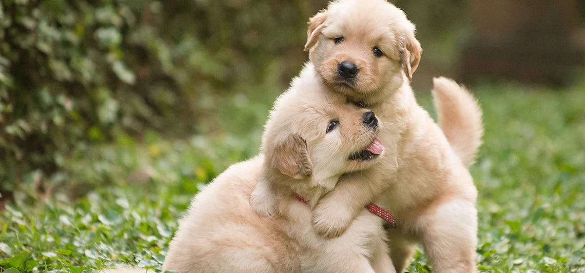 Can Dogs Live Together After Fighting? - Wag!