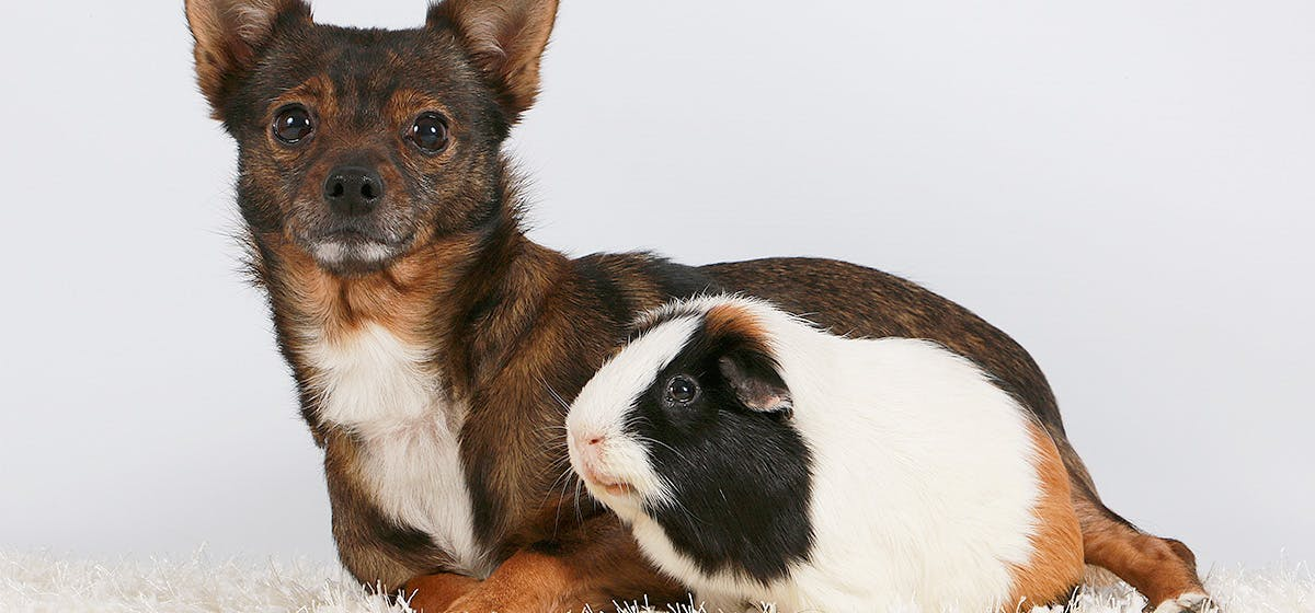 Can Dogs Live with Guinea Pigs? - Wag!