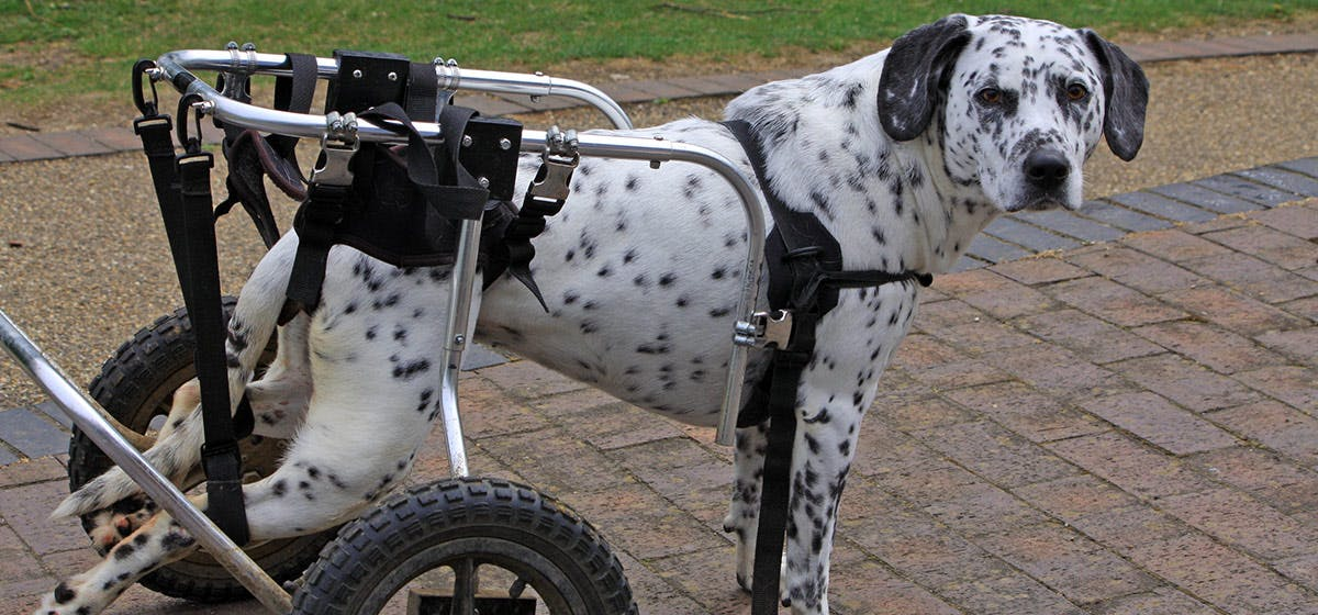 Can Dogs Live A Normal Life With Hip Dysplasia Wag