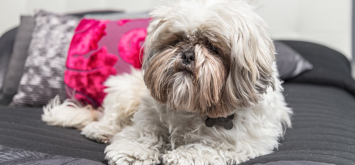 Dog Breed With Hair In Eyes