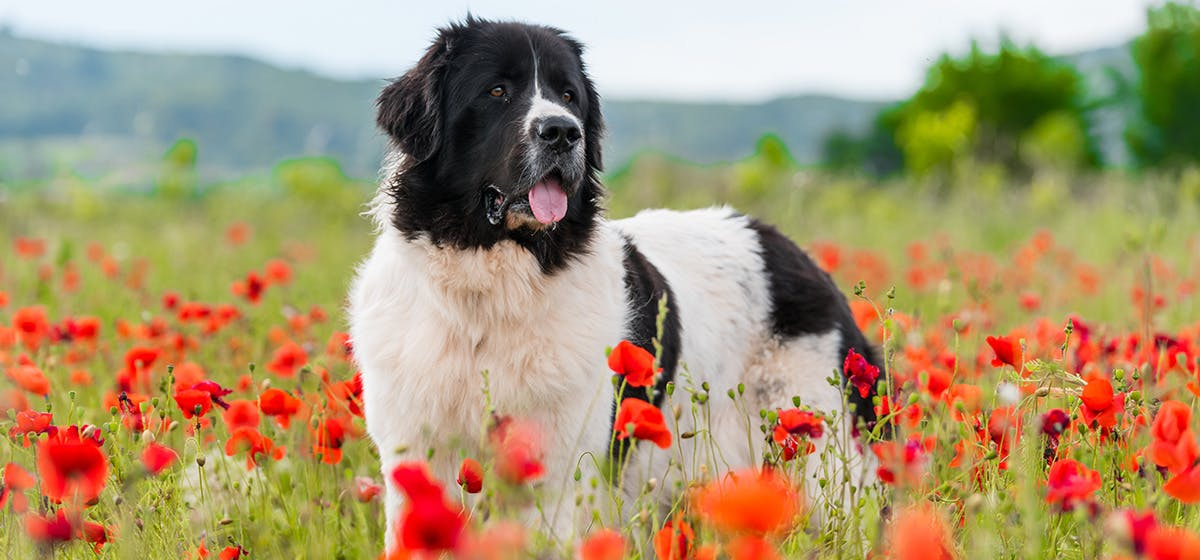 Training Of Can Newfoundland Dogs Live In Apartments