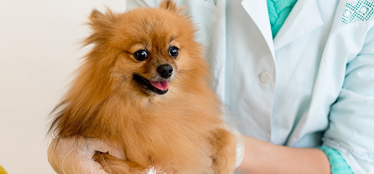 Can Dogs Live With A Collapsed Trachea Wag