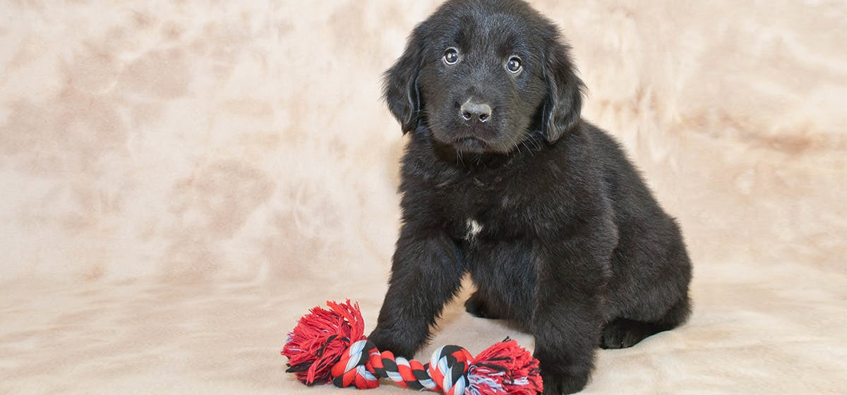 Can Newfoundland Dogs Live in Florida? - Wag!