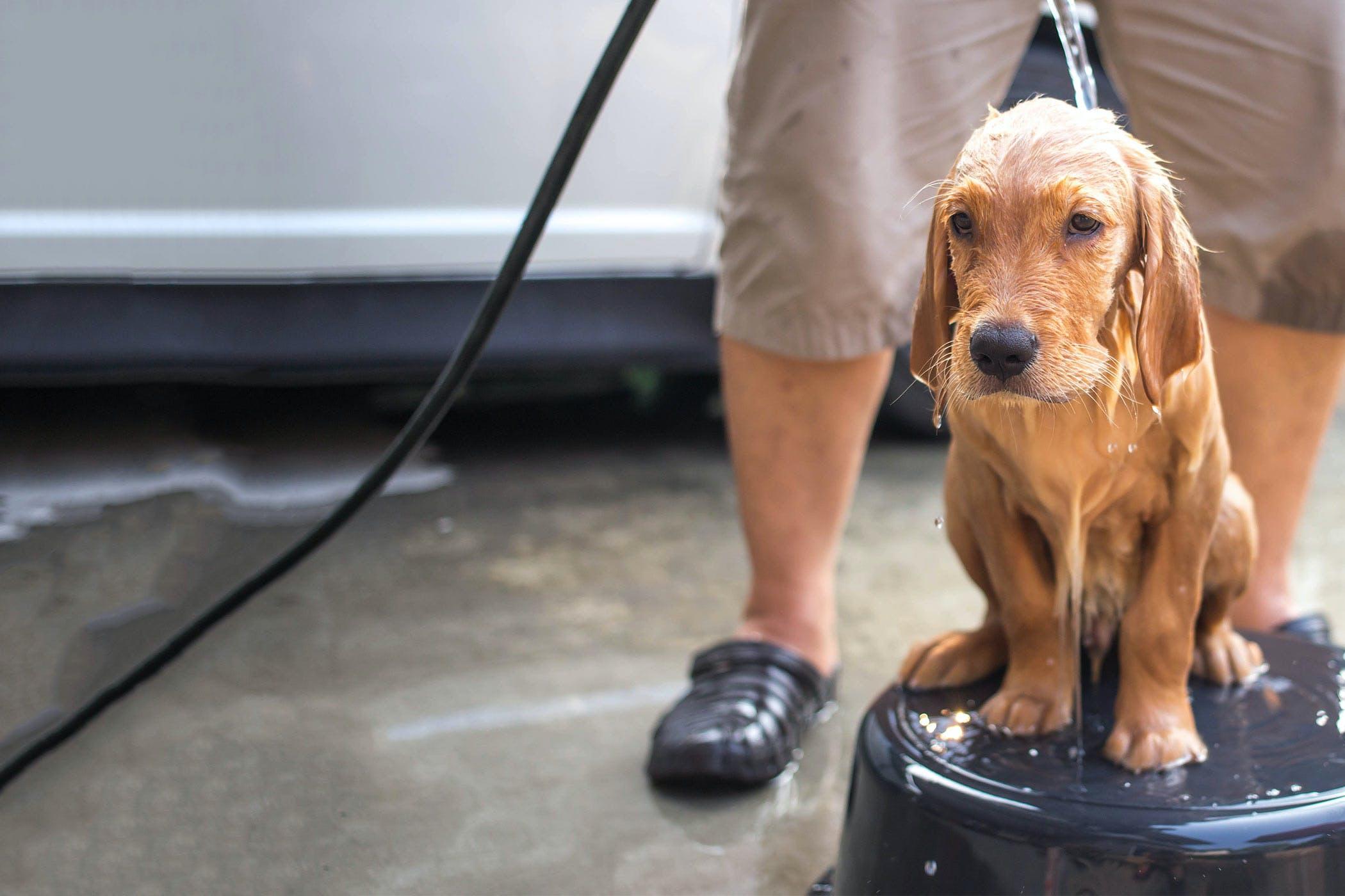 How To Bathe A Dog Sprayed By A Skunk