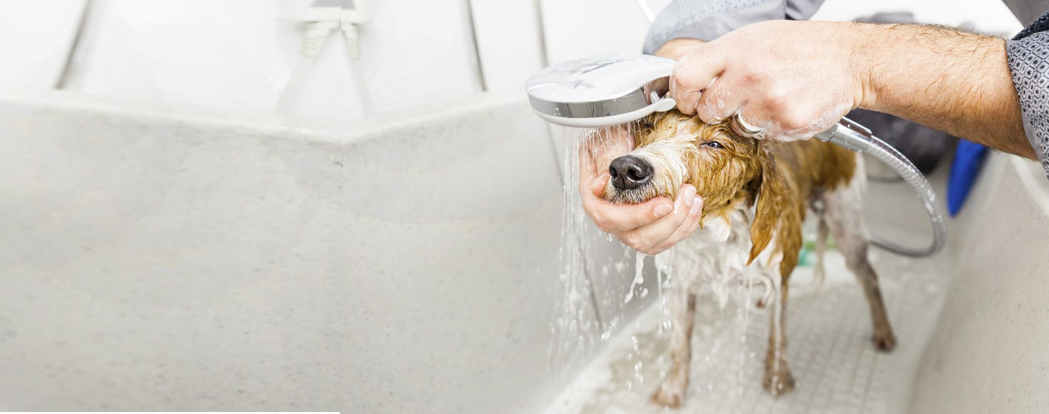 How To Bathe A Dog With Yeast Infection