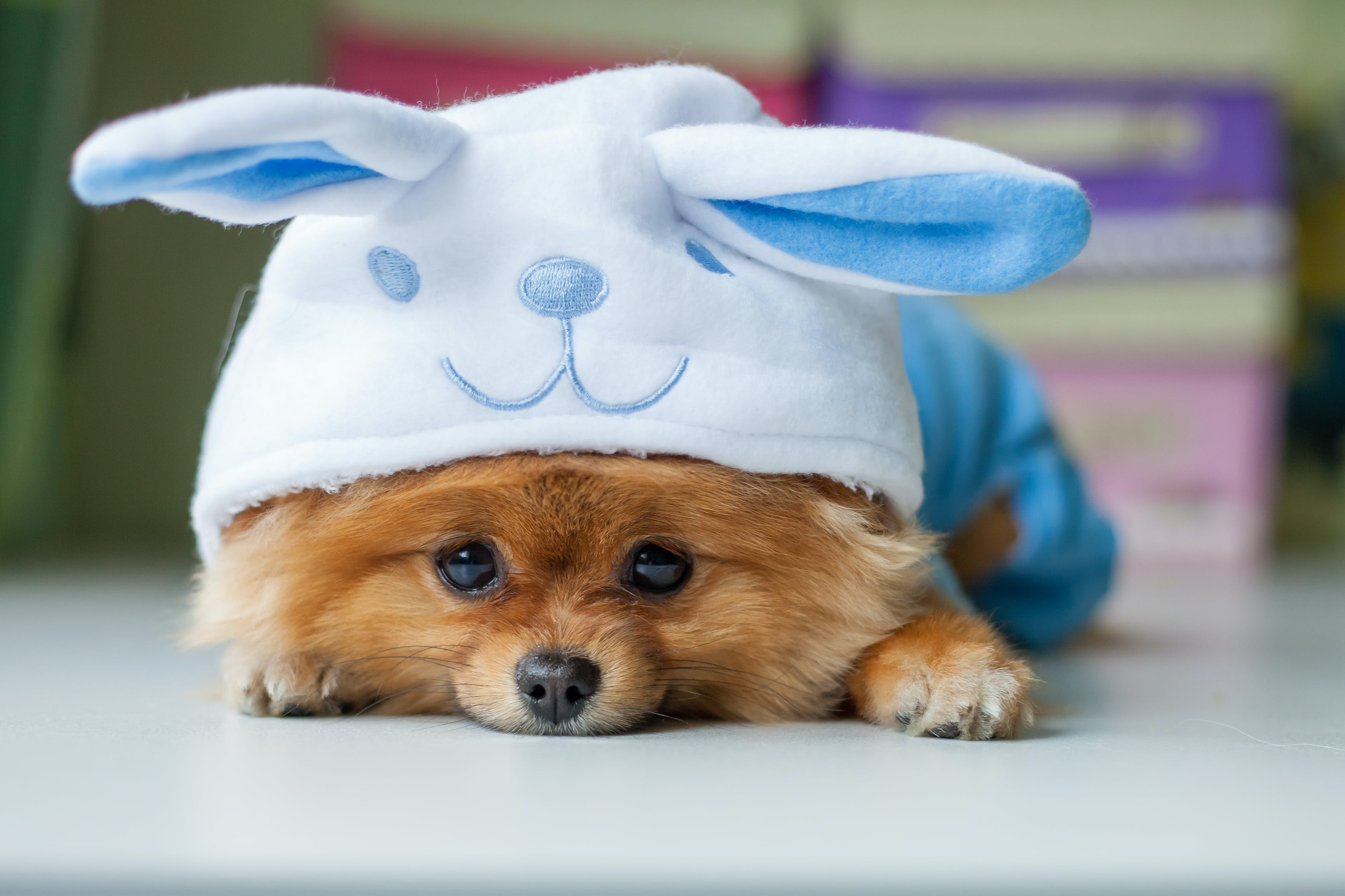 Wilson's costume story for 10 Dog Halloween Costume Ideas for Pomeranians