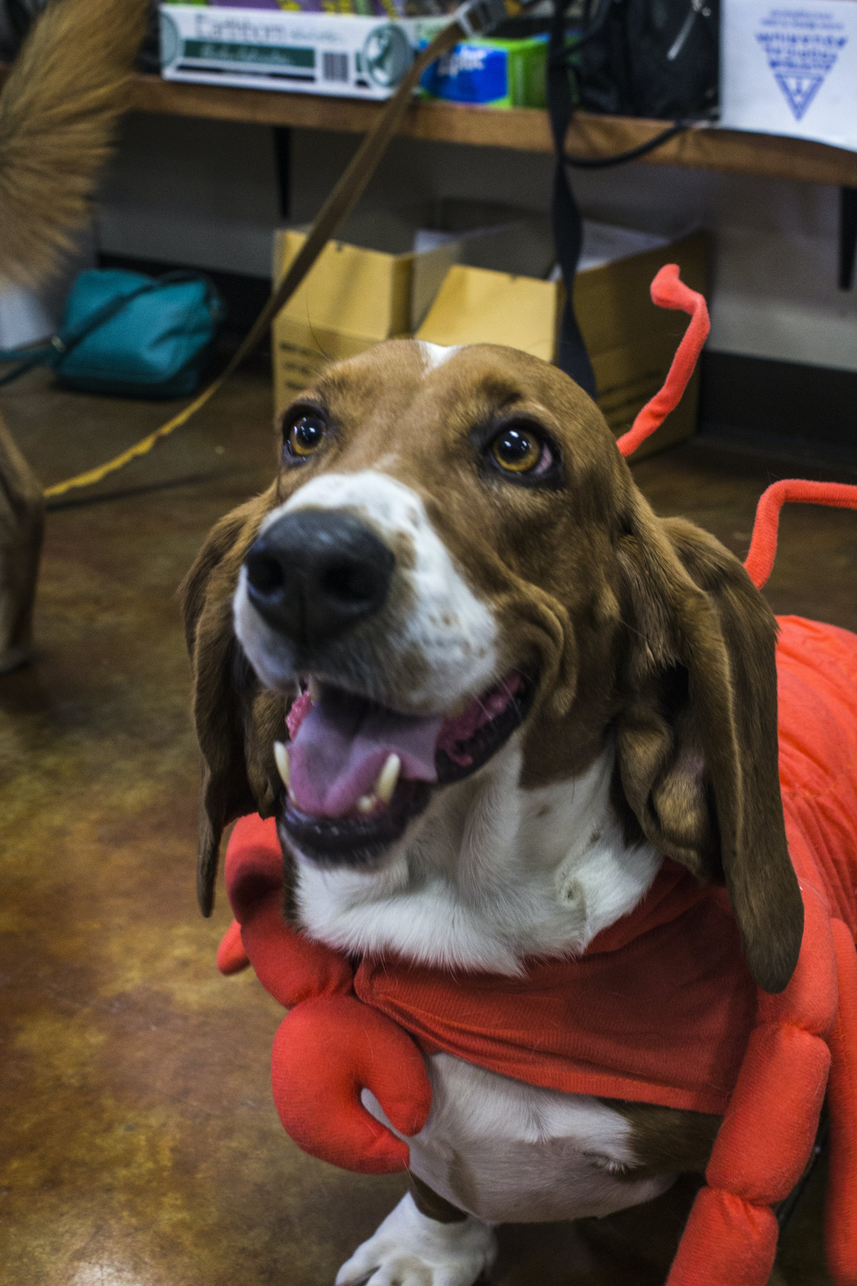 Betty's costume story for 10 Dog Halloween Costume Ideas for Basset Hounds