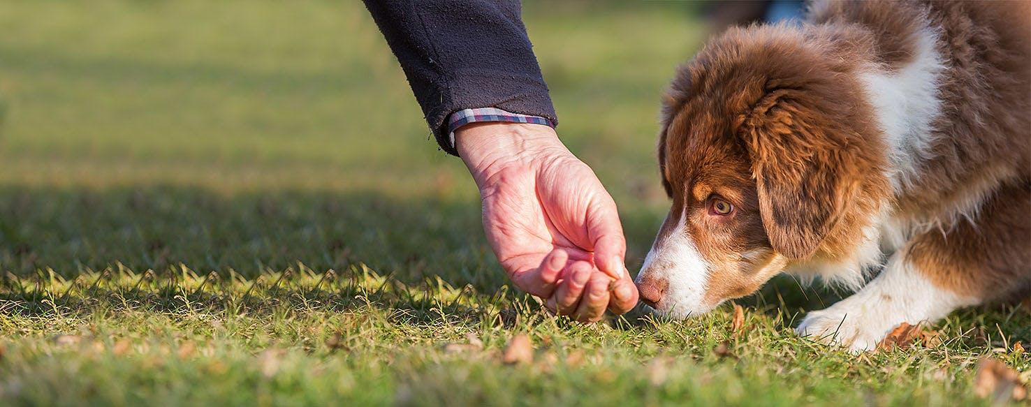 How To Train An Australian Shepherd Puppy To Not Bite Wag