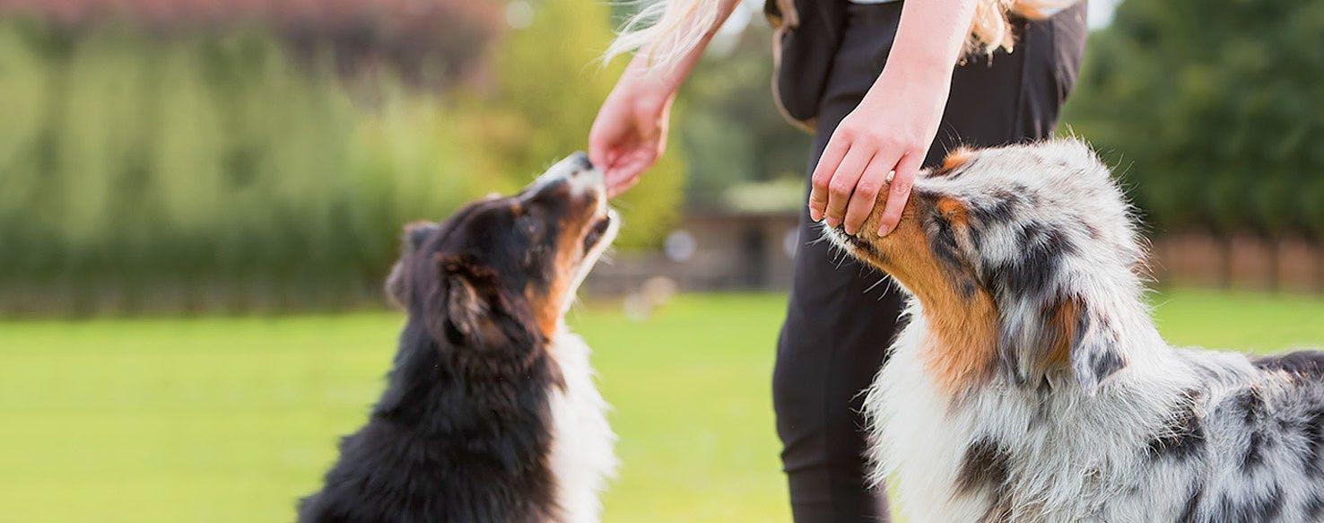 How To Train An Australian Shepherd To Not Bite Wag