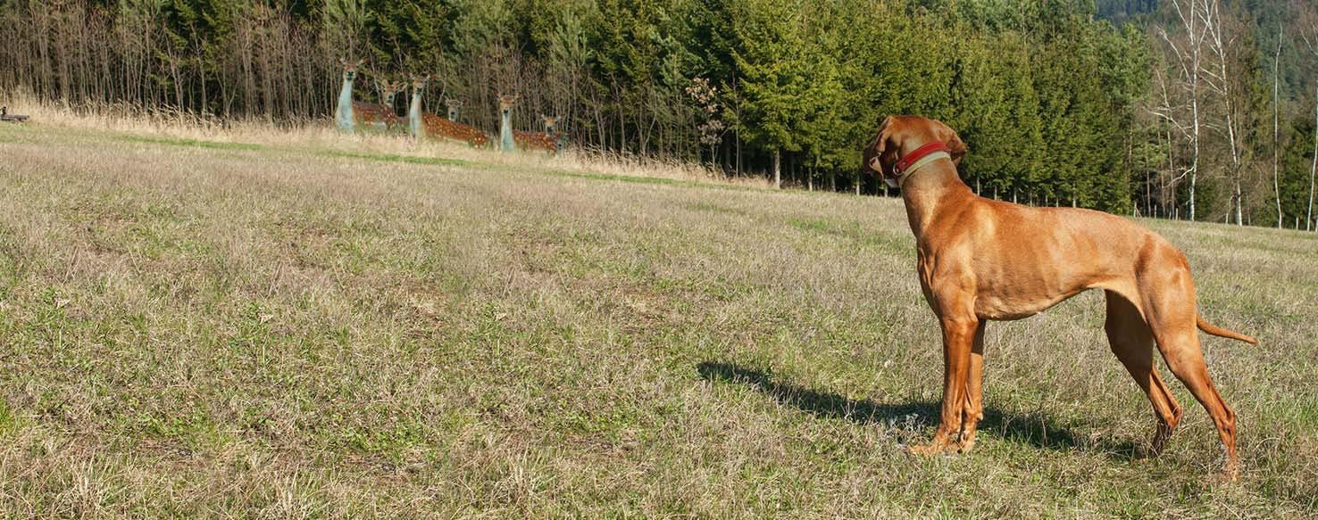 How To Train A Vizsla Hunt Deer