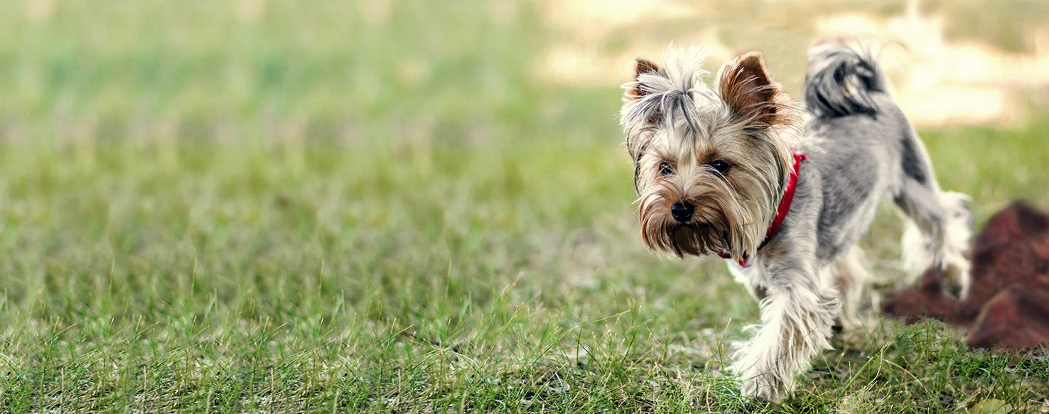 How To Train A Yorkshire Terrier To Pee Outside