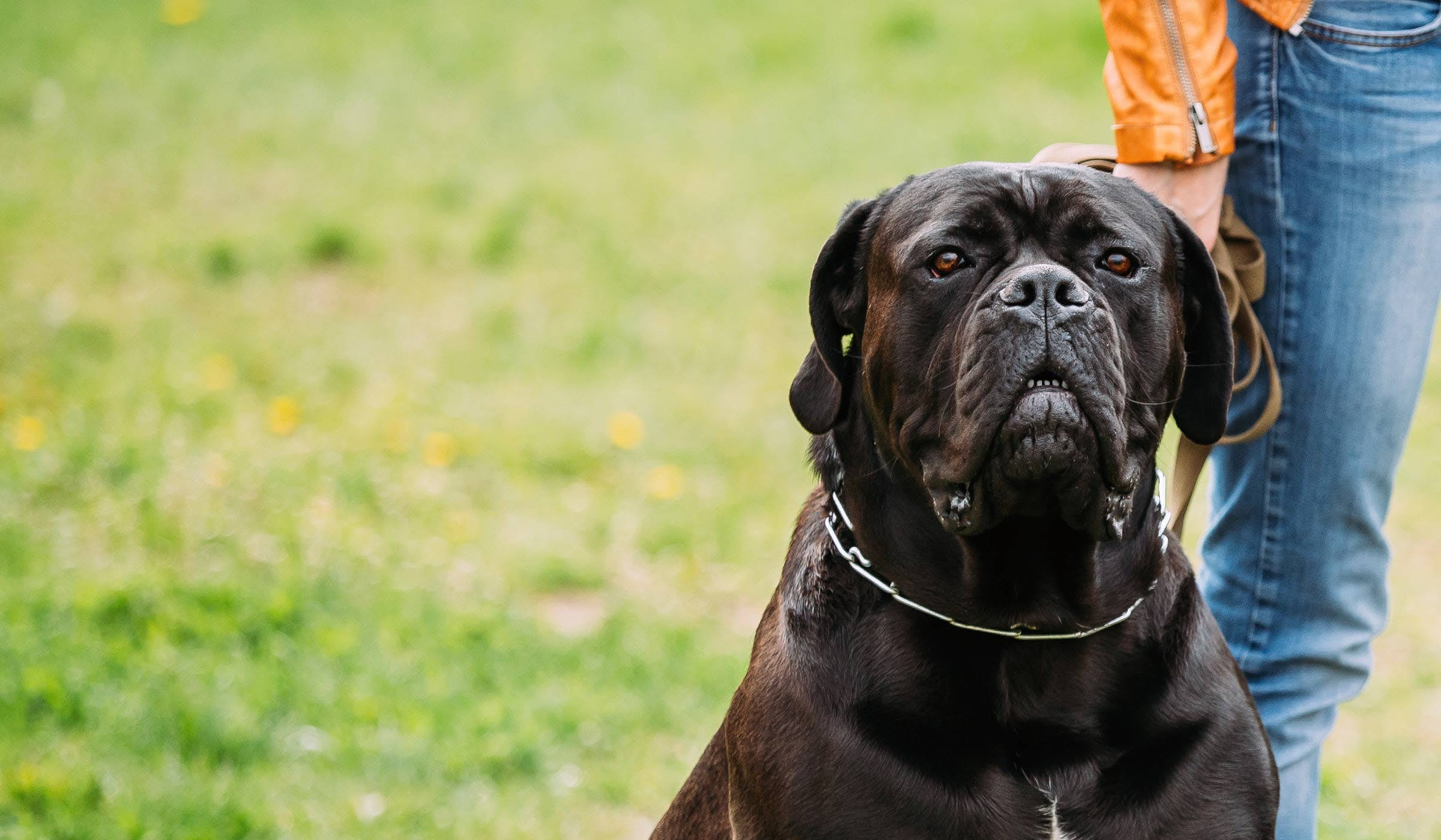 How To Train Your Cane Corso Dog To Be A Guard Dog