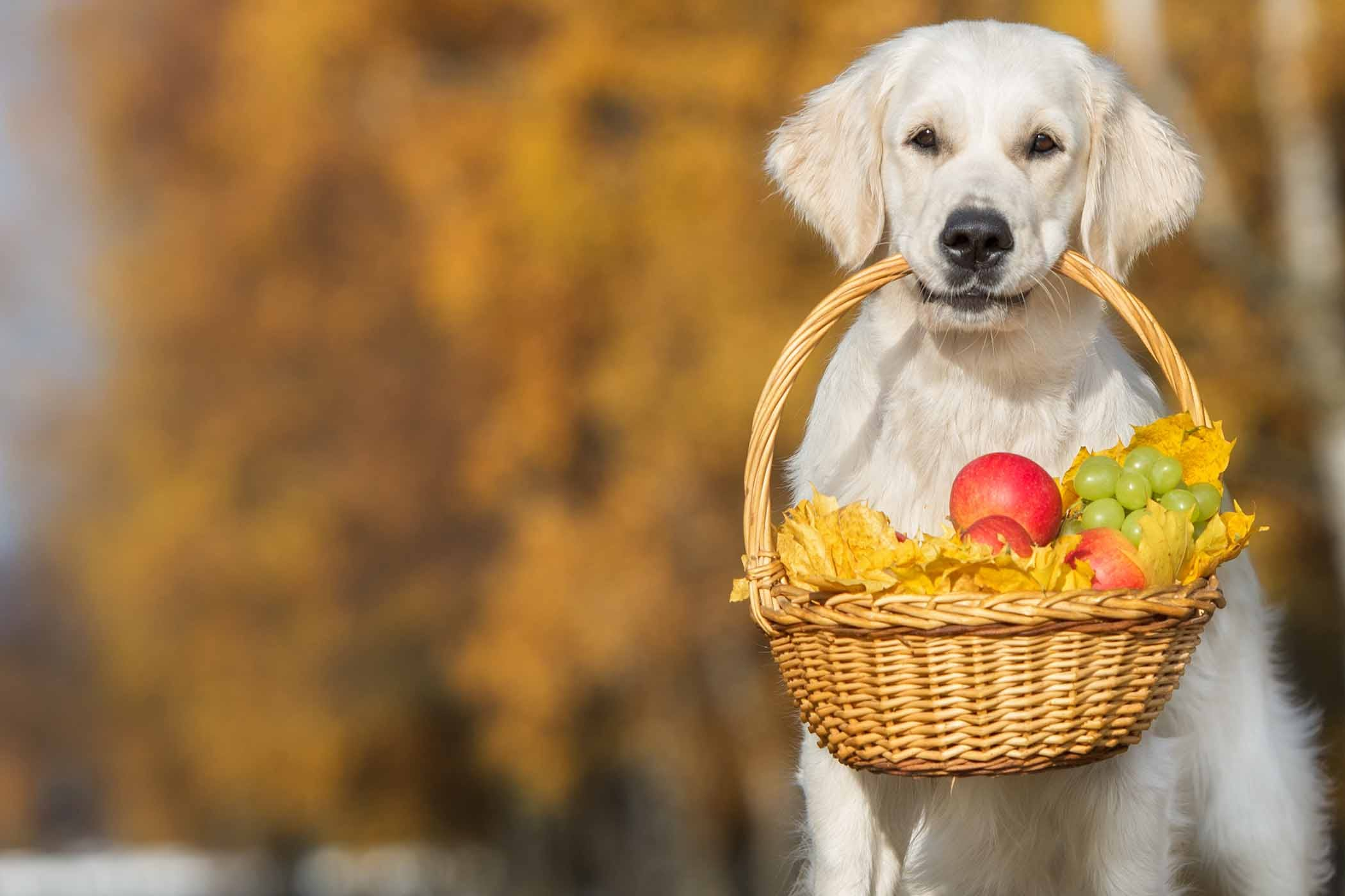 How To Train Your Dog To Carry A Basket