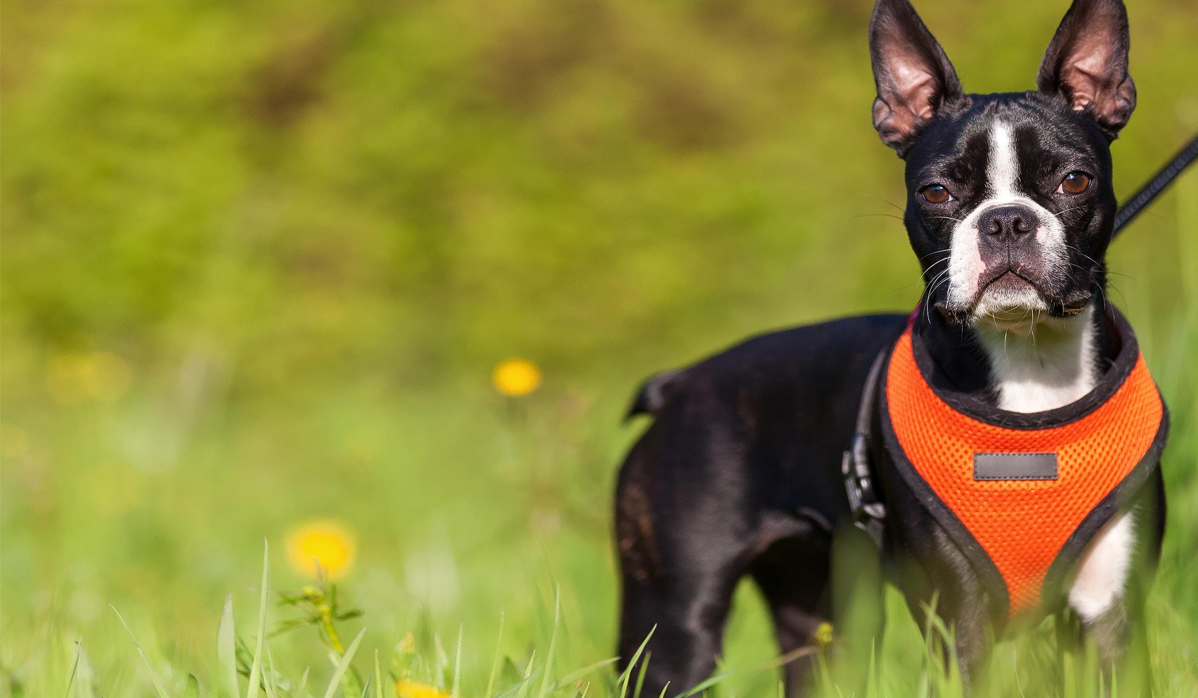 How To Train Your Boston Terrier Dog To Come