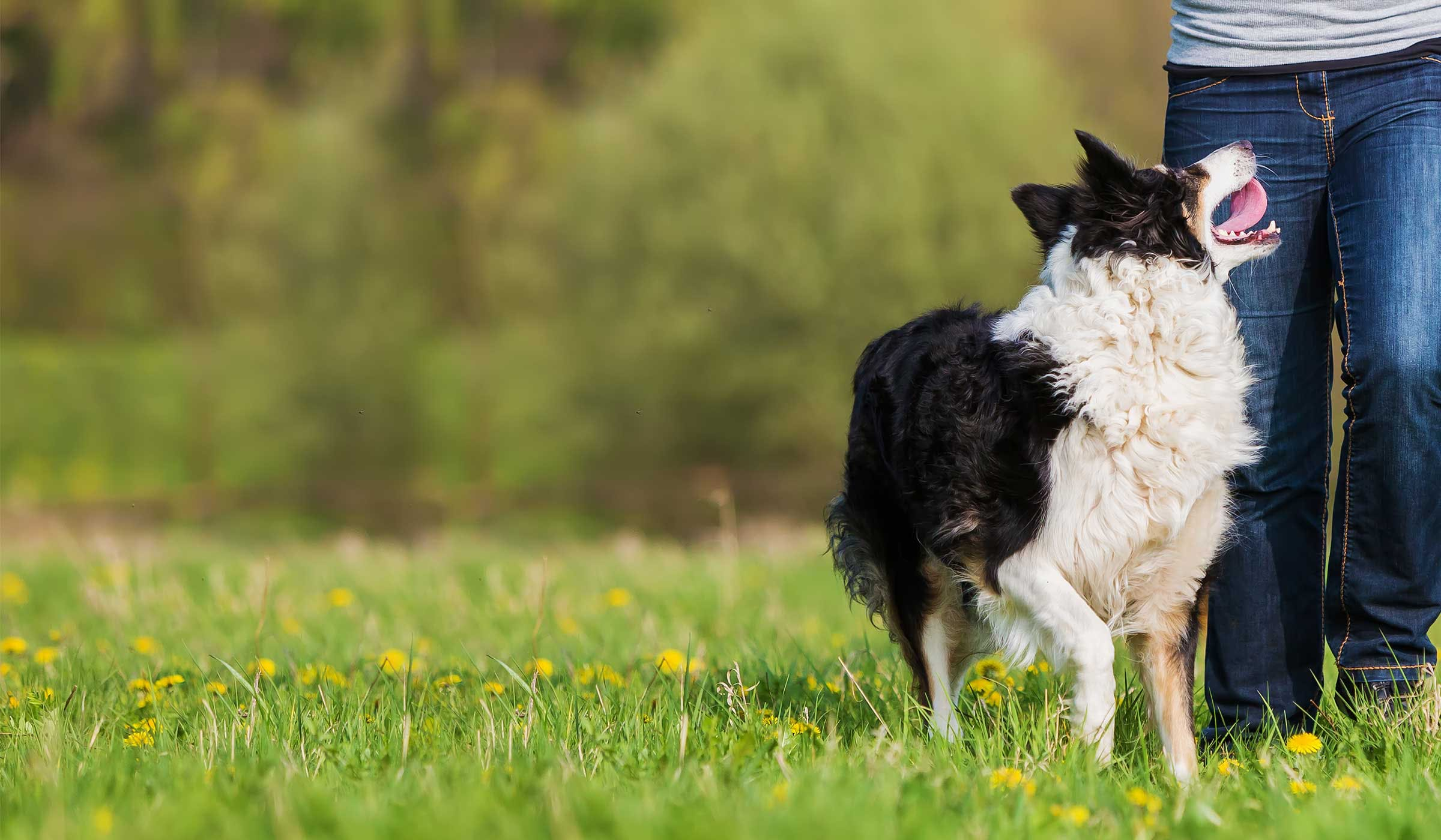 How To Train Your Border Collie Dog To Come When Called Wag