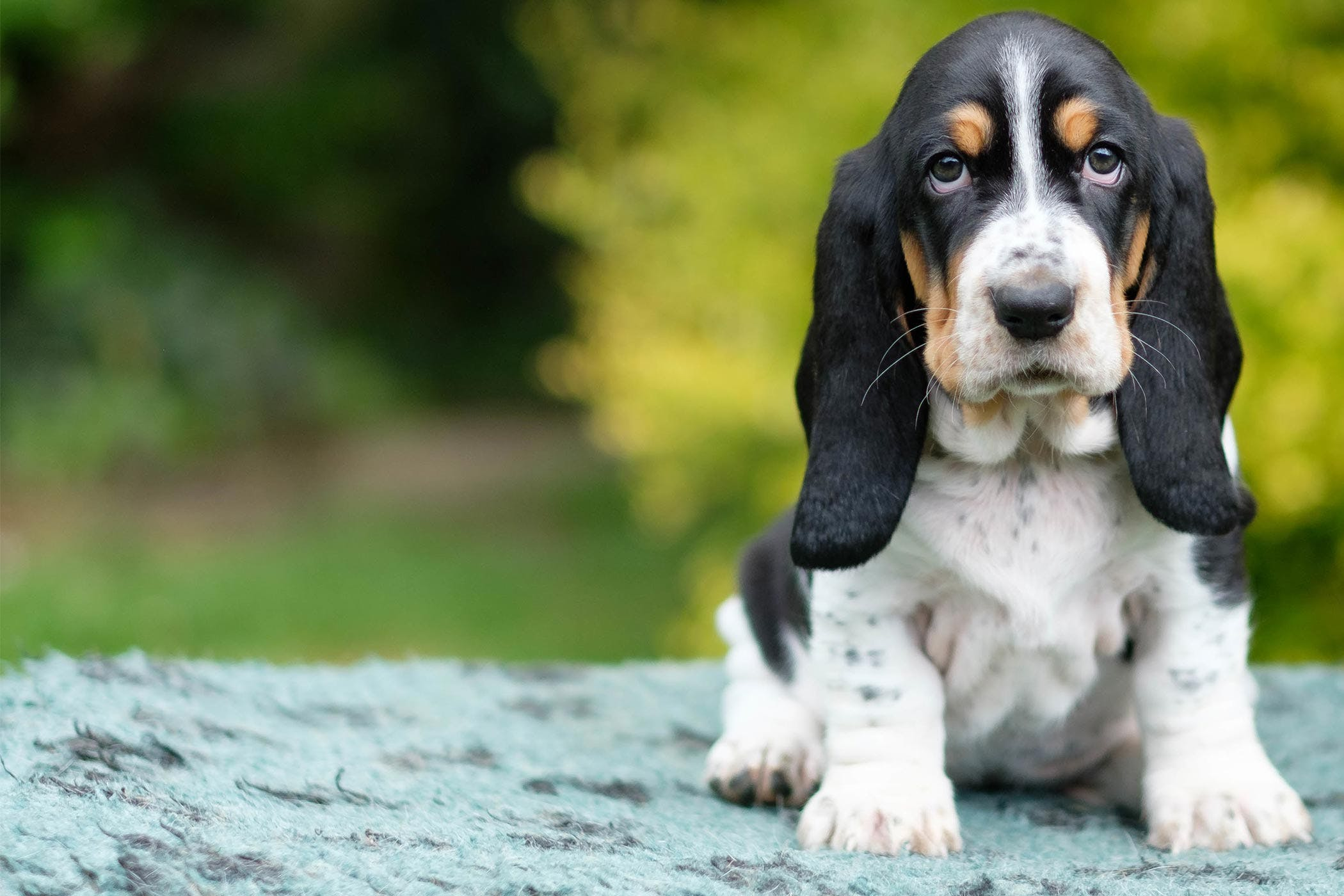 How To Crate Train A Basset Hound Puppy