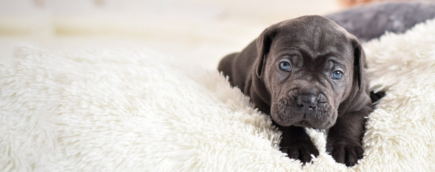 How To Crate Train A Cane Corso Puppy