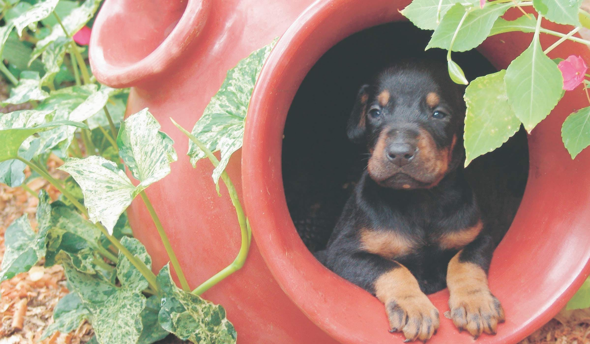 How to Crate Train a Doberman Puppy