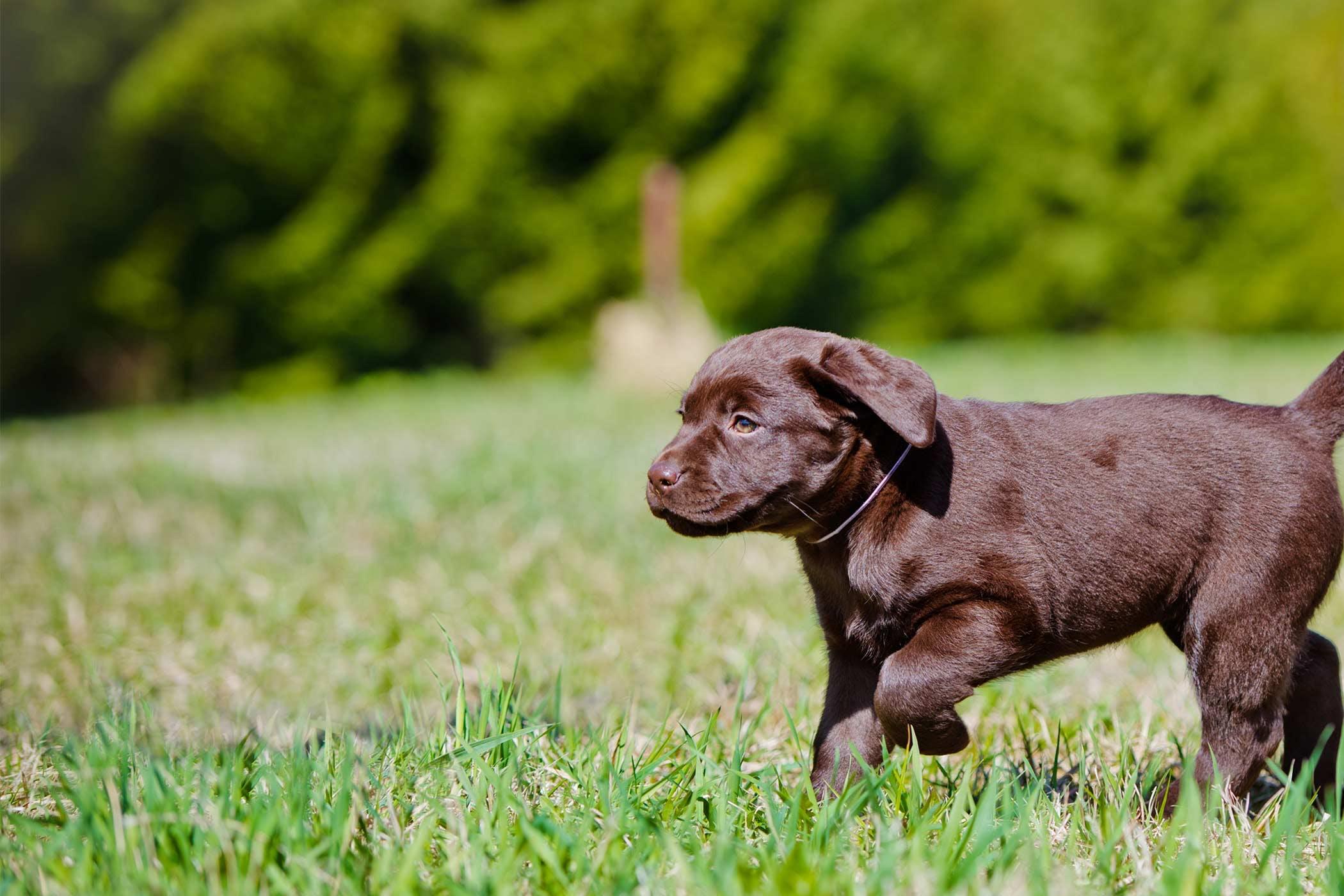 How To Crate Train A Labrador Retriever Puppy Wag