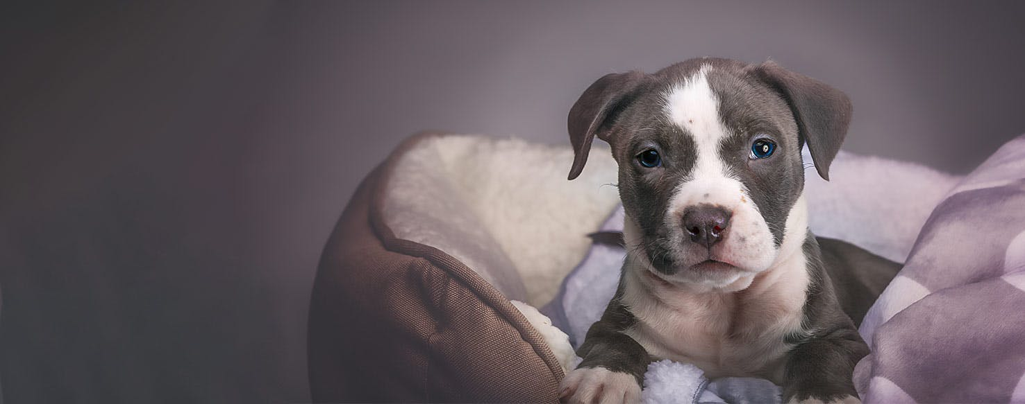 How To Crate Train A Pit Bull Puppy