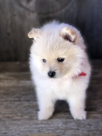 How to Crate Train a Pomeranian Puppy