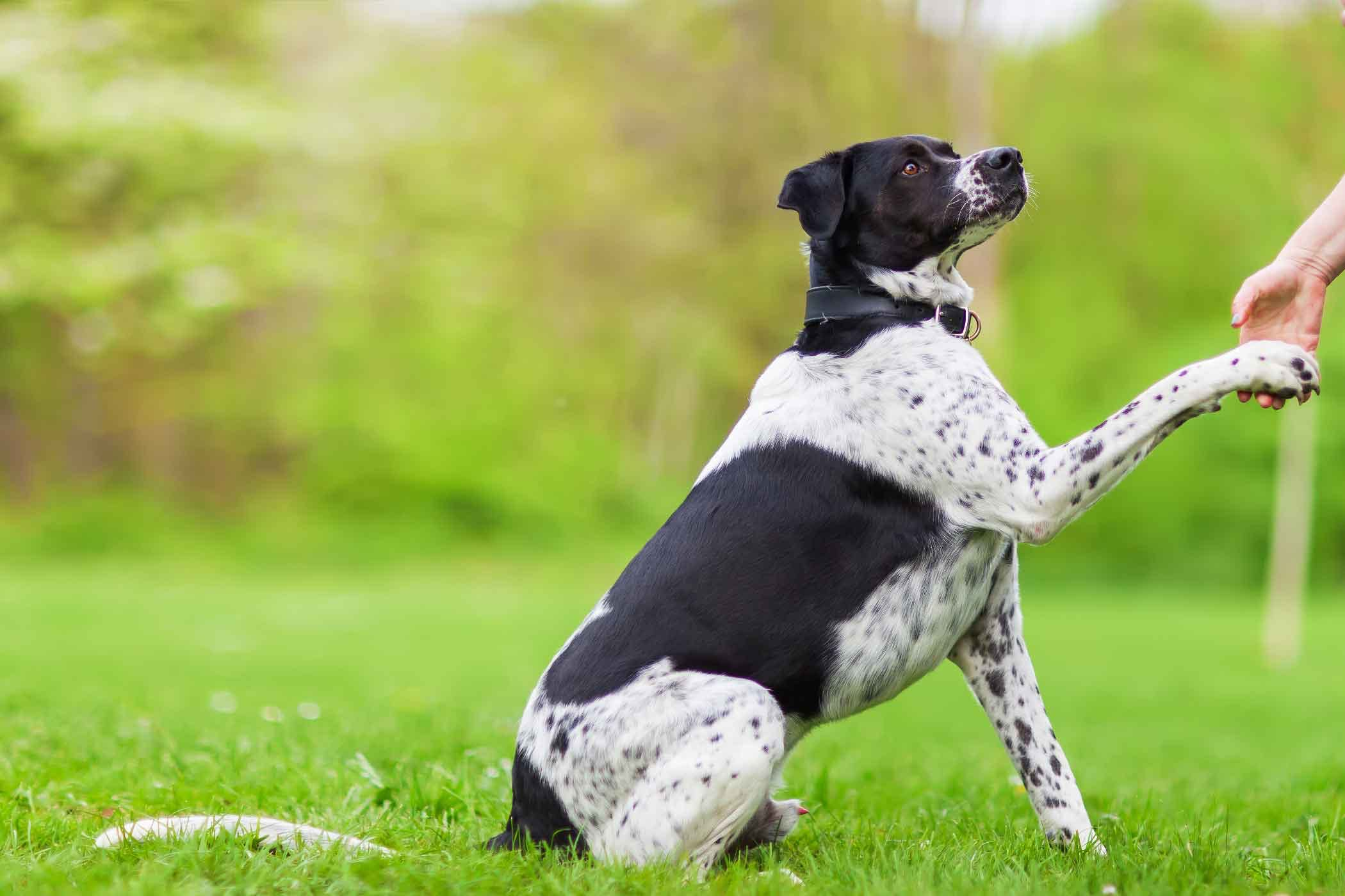 how to teach your dog paw