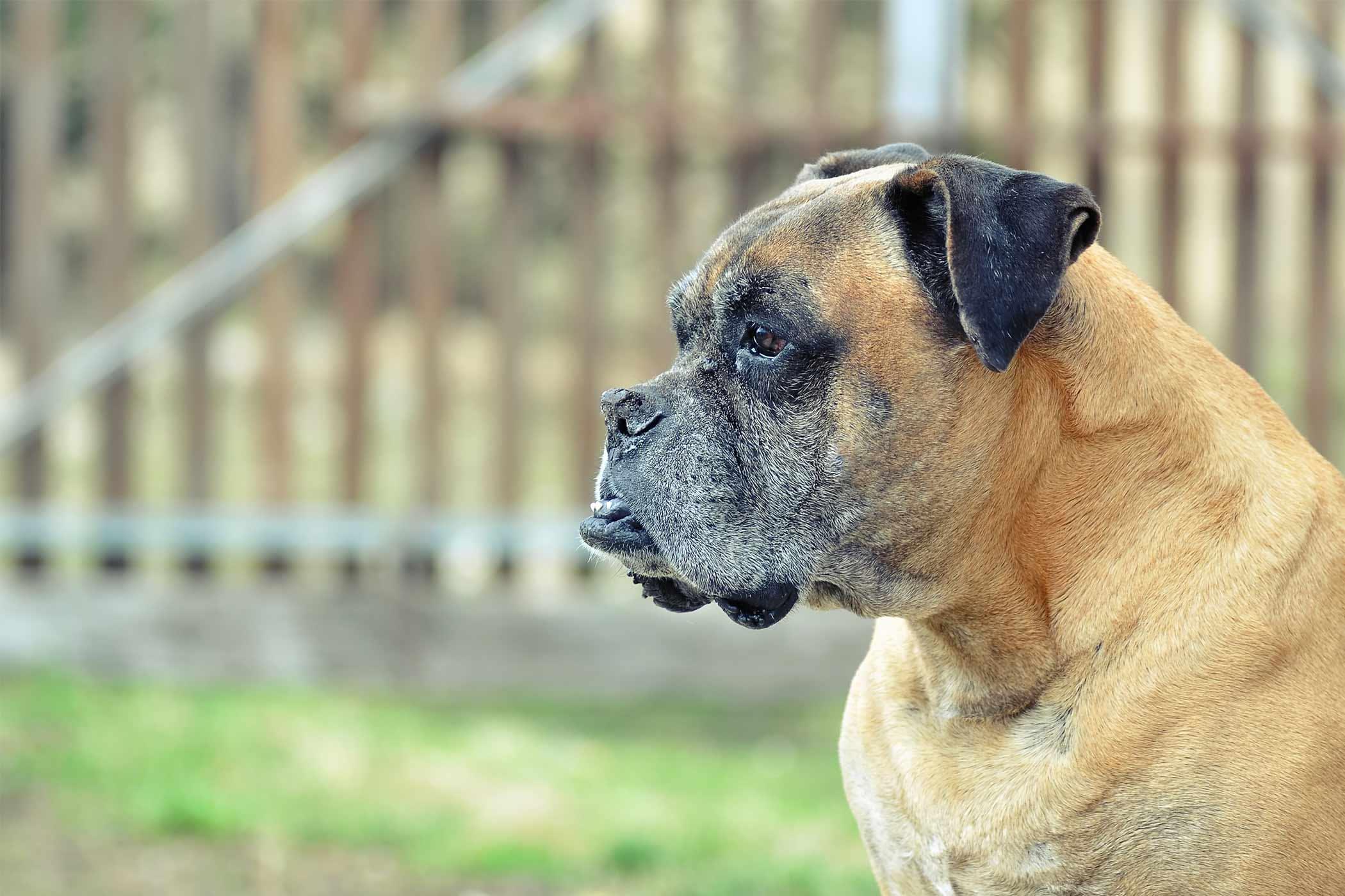 How to Train a Boxer Dog How to Train a Boxer Dog new foto