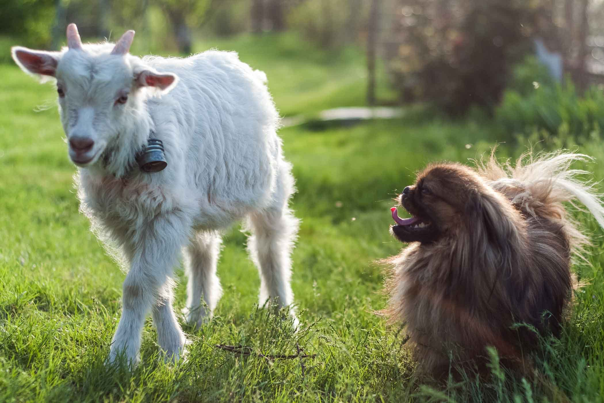 how to train your dog to herd goats