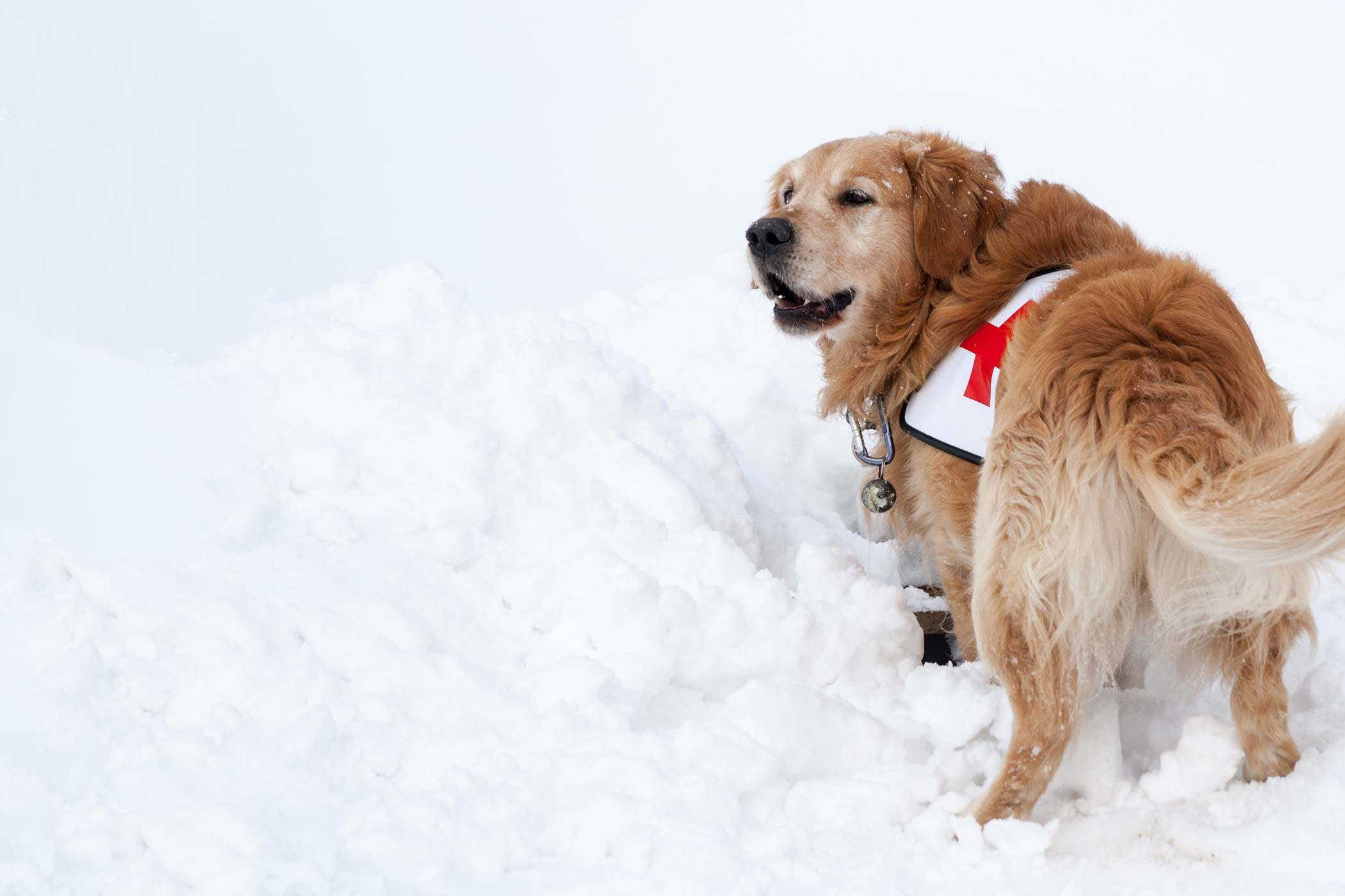 Best Breeds for Search and Rescue Dog Training