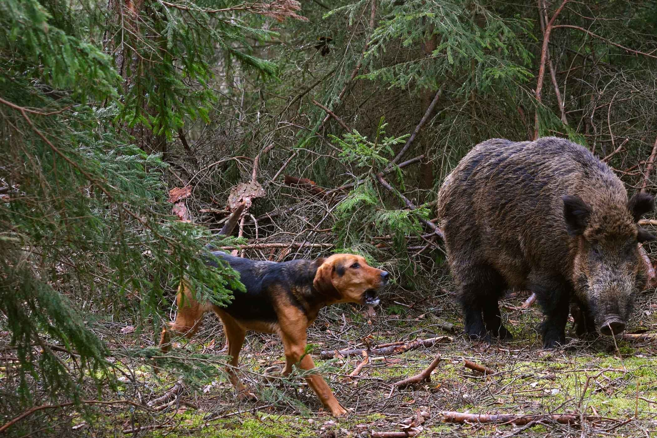How to Train Your Dog to Hunt Boar