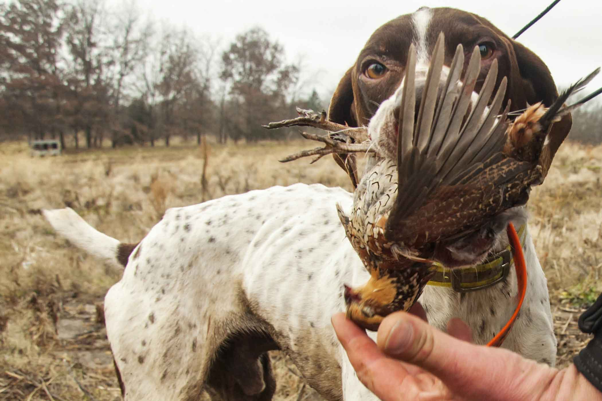 How To Train Your Dog To Hunt Quail