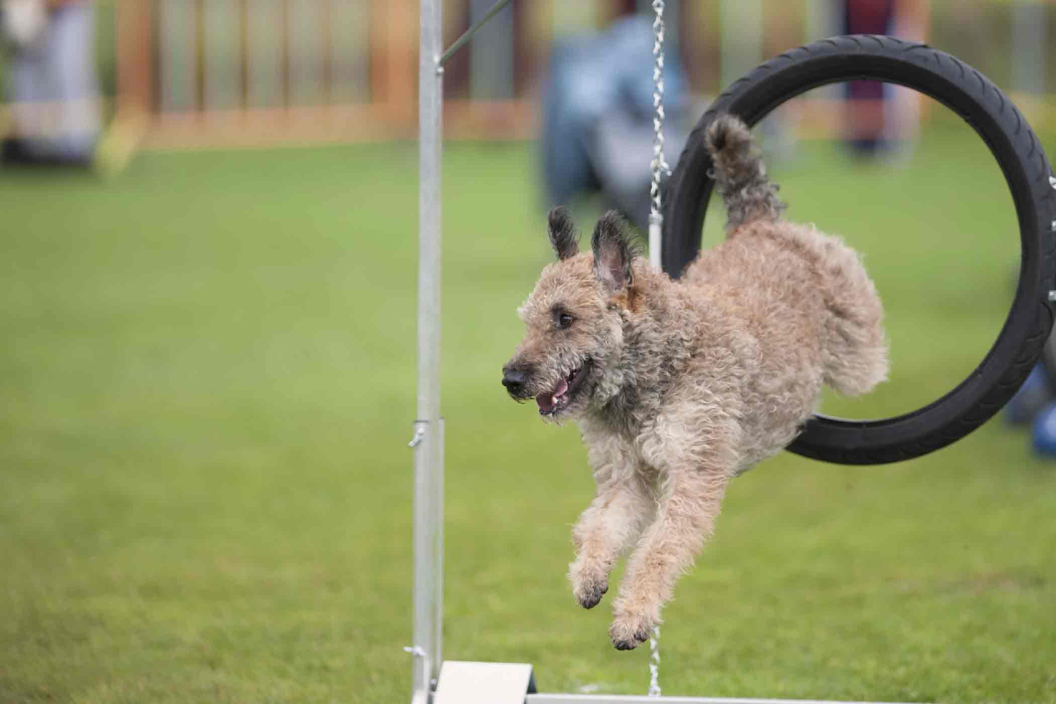 How To Train Your Dog To Jump Through A Hoop