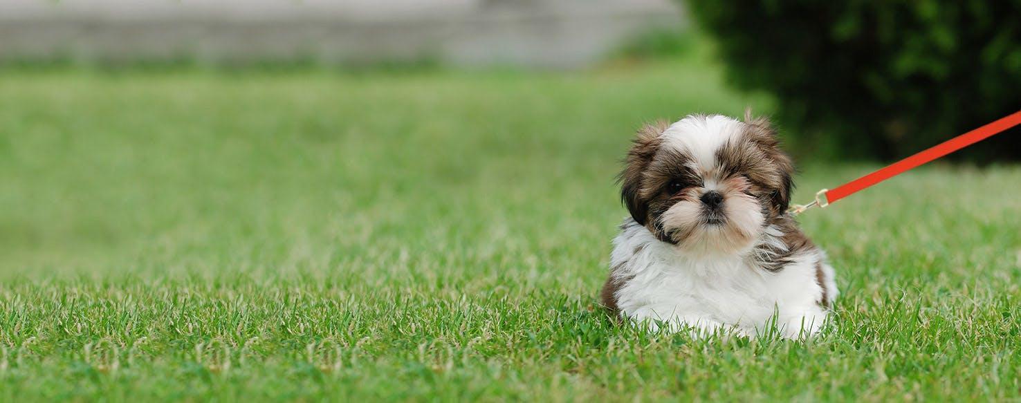 How To Leash Train A Shih Tzu Puppy Wag