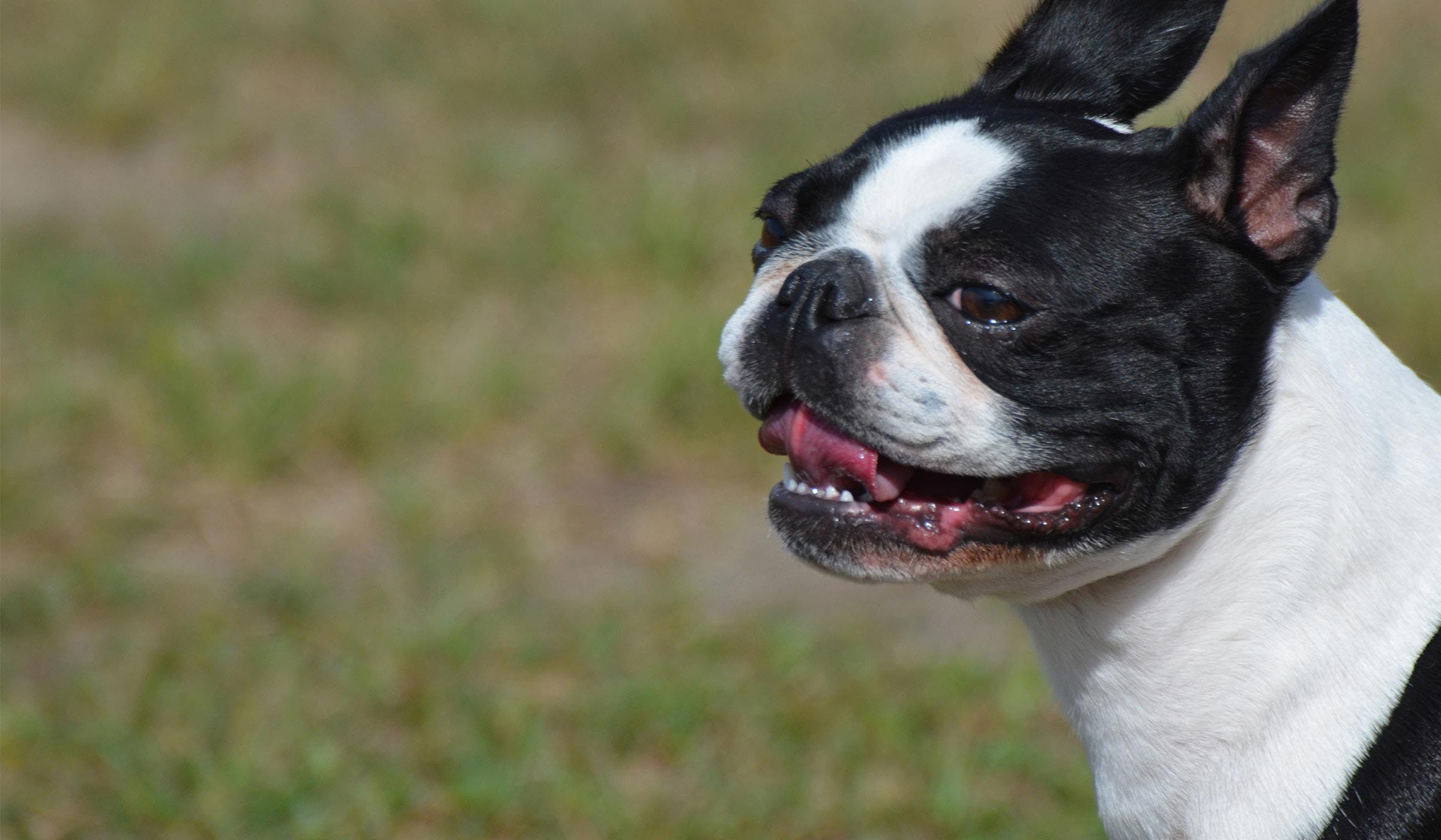 training a boston terrier puppy how to train your boston terrier dog to not bark 5773