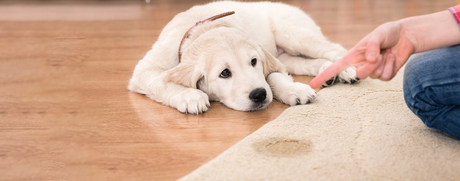 How to Train Your Dog to Not Pee on the Rug   Wag