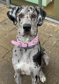 How to Obedience Train a Great Dane