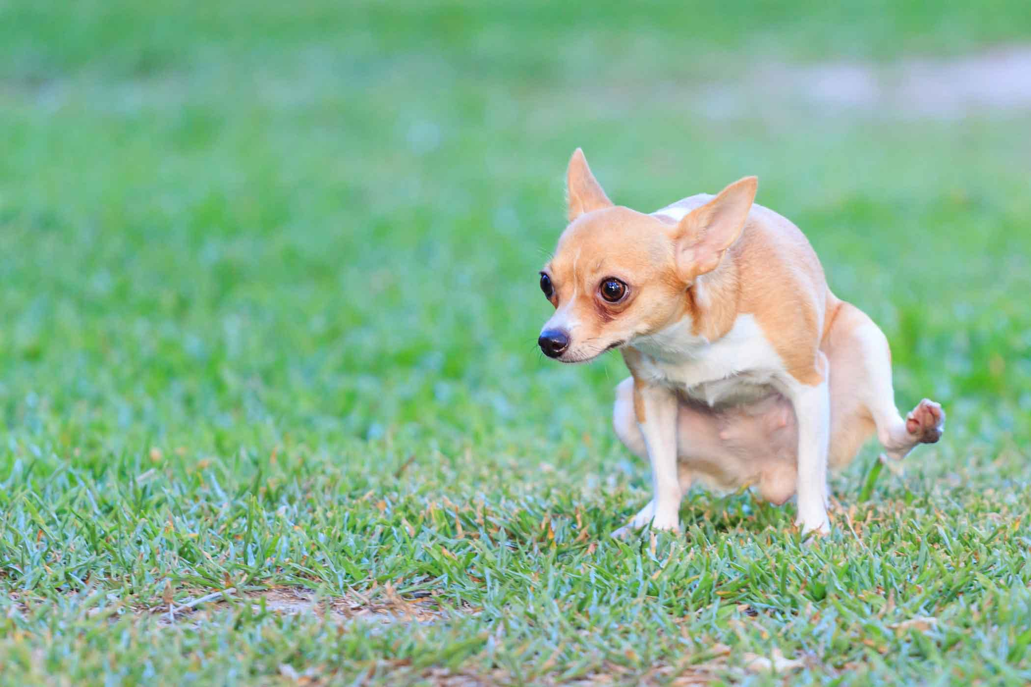 How To Train Your Small Dog To Pee Outside