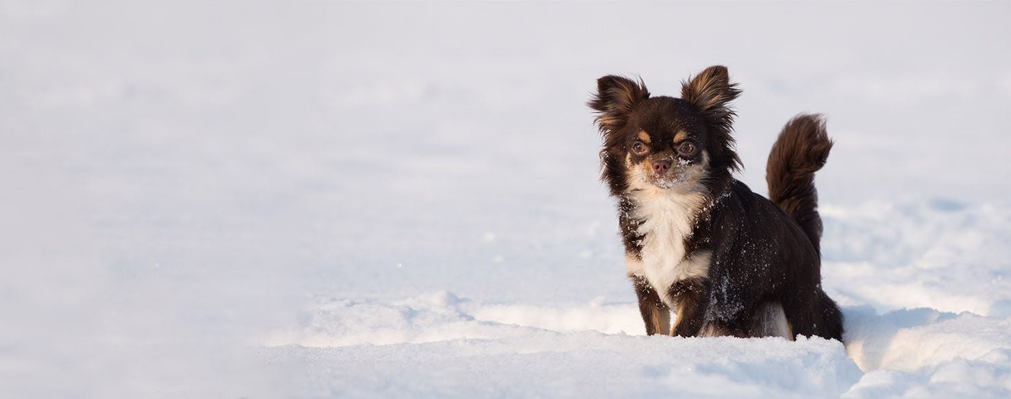 How To Potty Train A Chihuahua In The Winter Wag