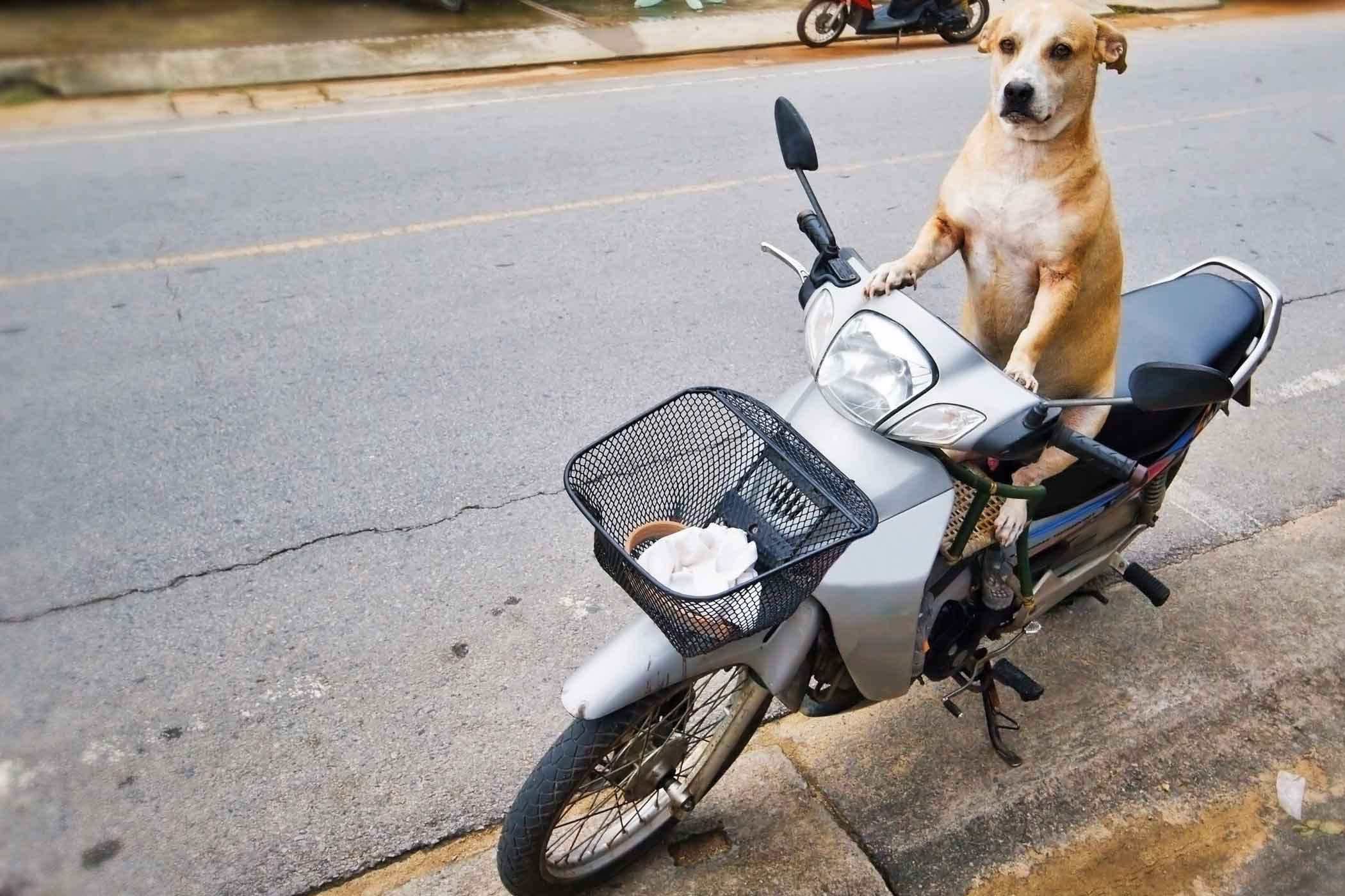 how to train your dog to ride a scooter. Black Bedroom Furniture Sets. Home Design Ideas