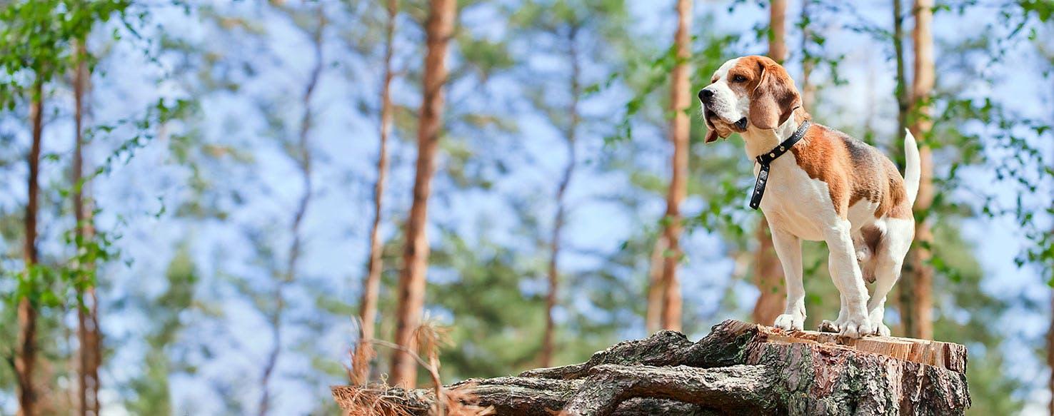 Beagle Dog Breed Profile   Petfinder