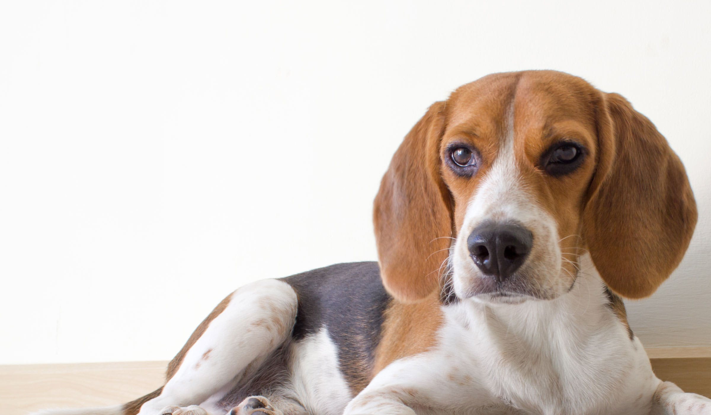How To Train A Beagle Puppy To Sit Wag