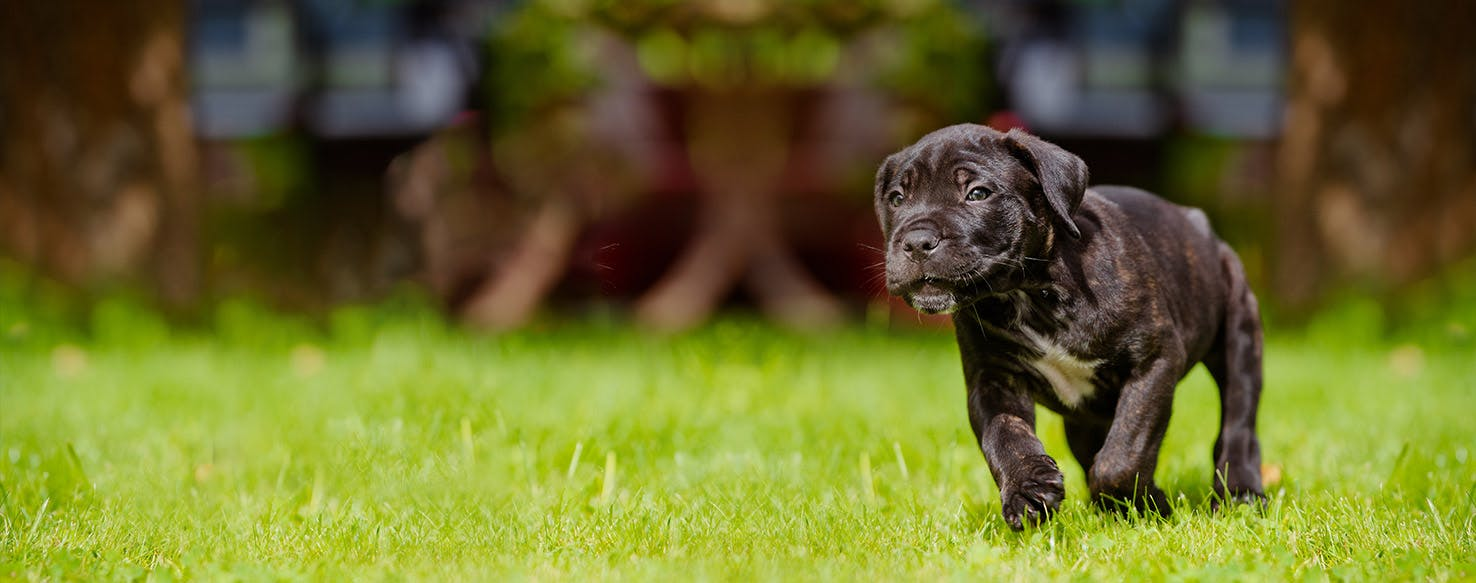 How to Train a Cane Corso Puppy to Not Bite