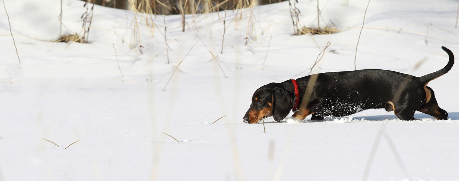 how to train a dachshund to hunt