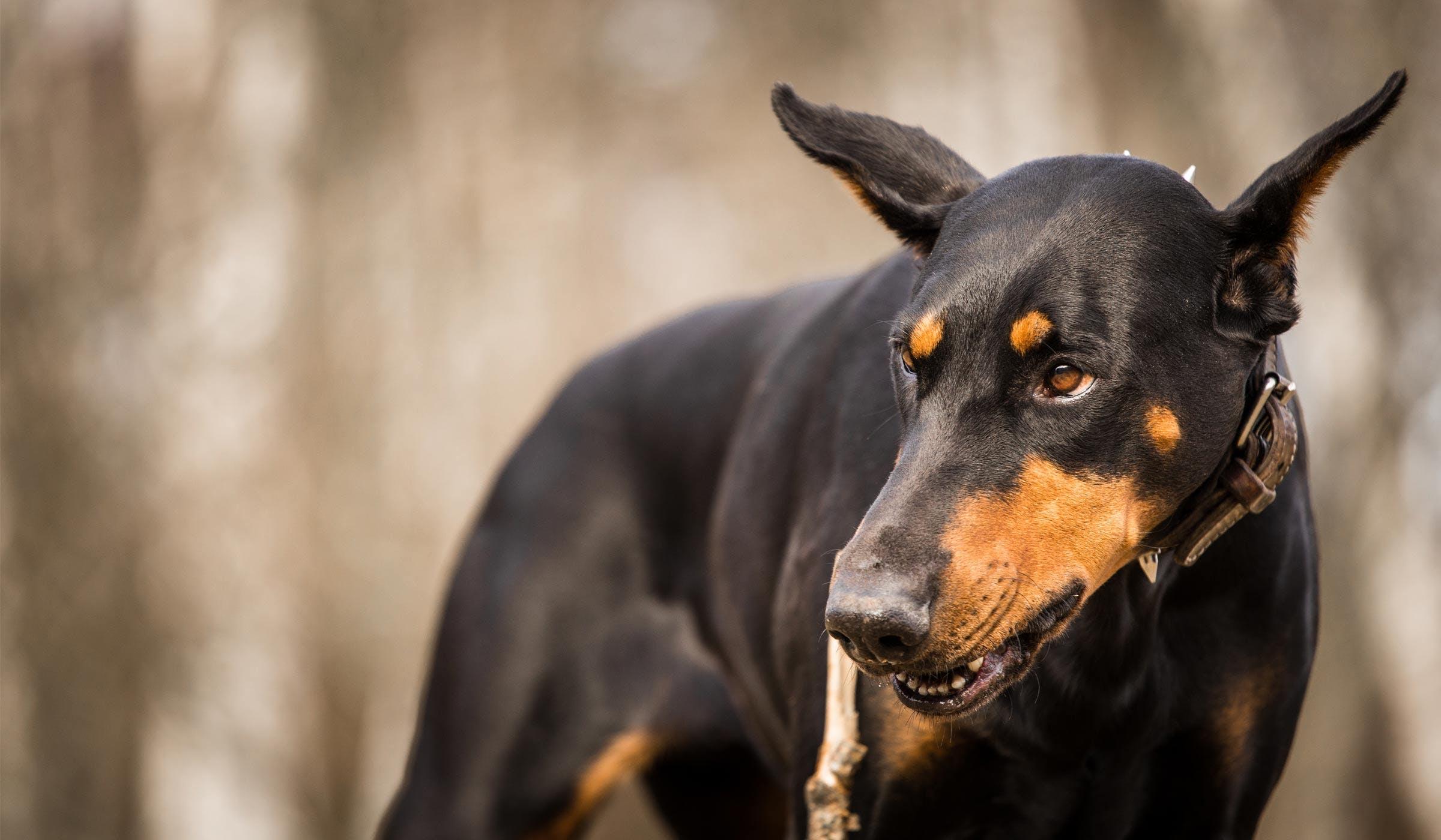 How To Train A Doberman Guard Dog Wag