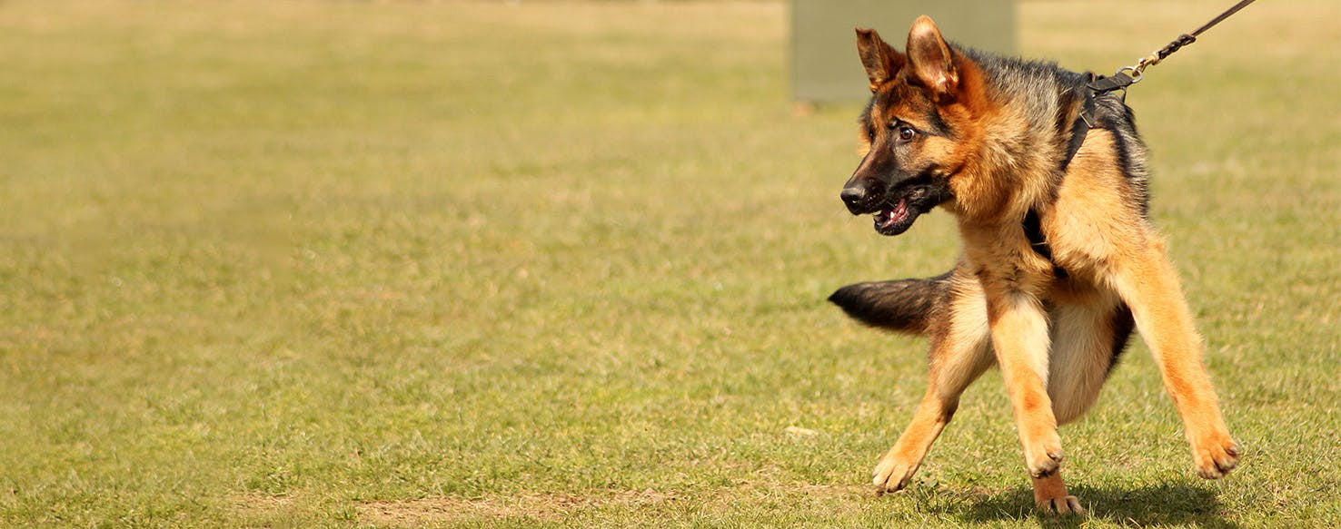 How To Train A German Shepherd Puppy Basic Commands Wag