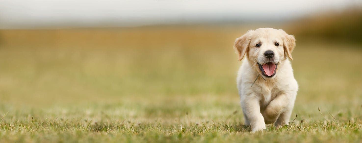 how to train a golden retriever puppy to not bite. Black Bedroom Furniture Sets. Home Design Ideas