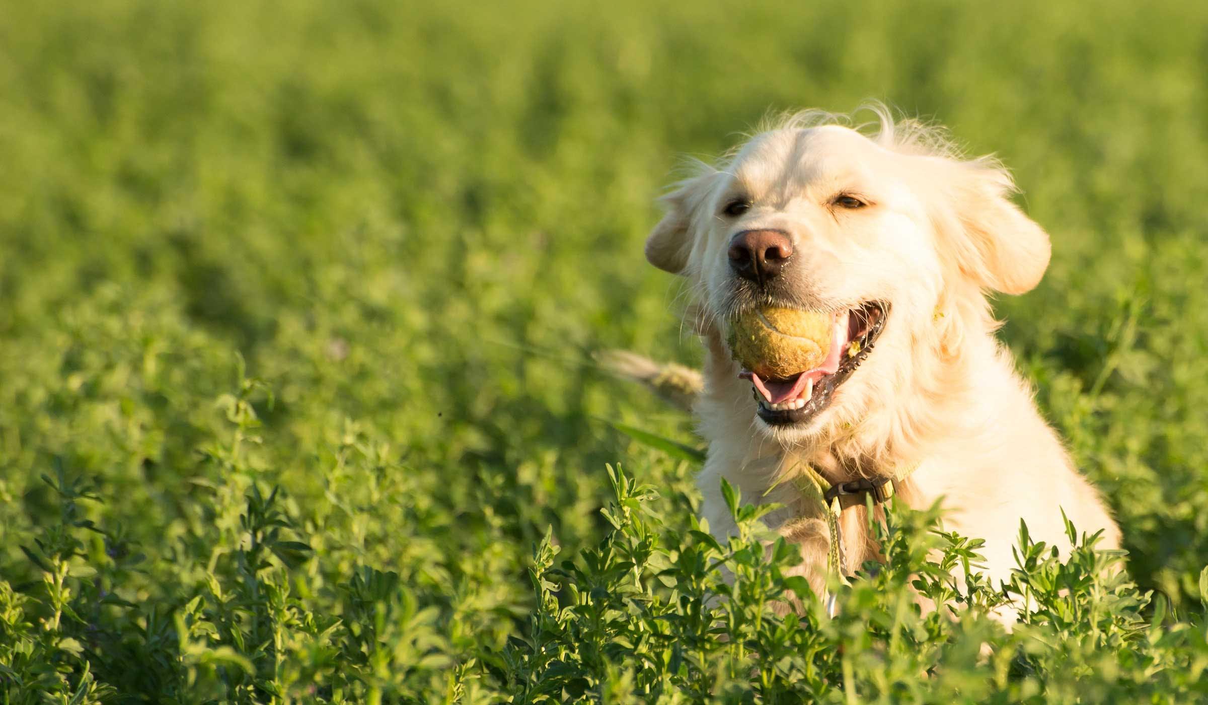 How To Train A Golden Retriever To Fetch