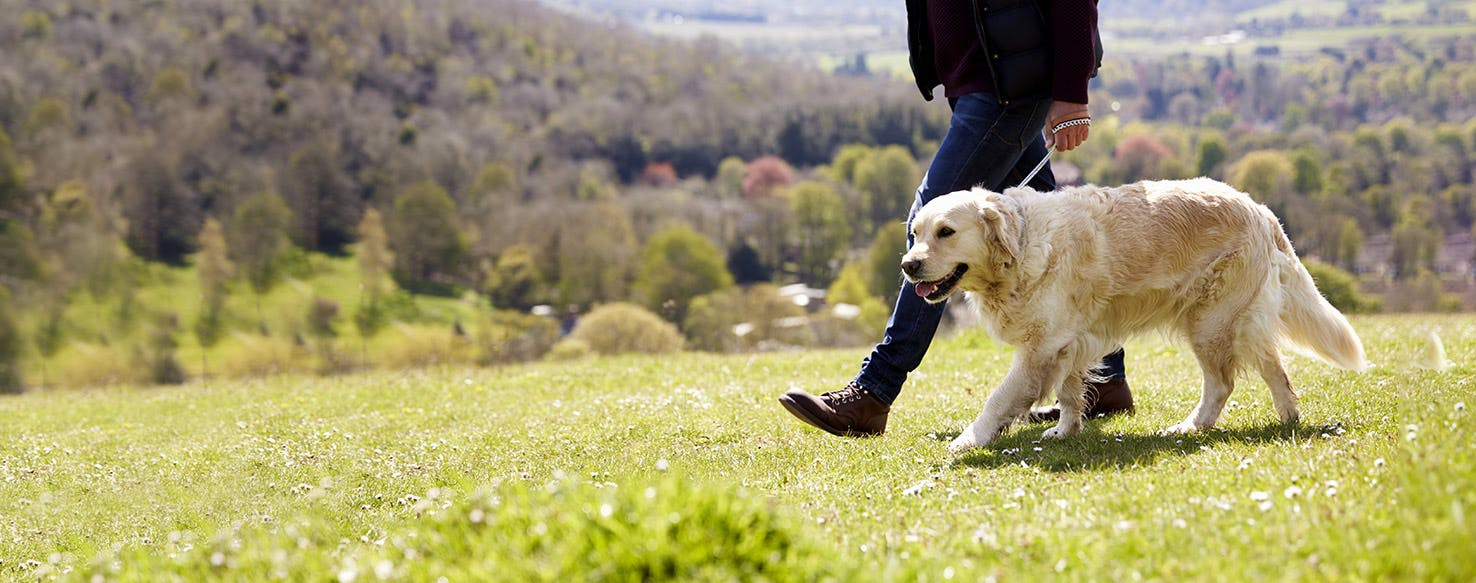 How To Train A Golden Retriever To Walk On A Leash