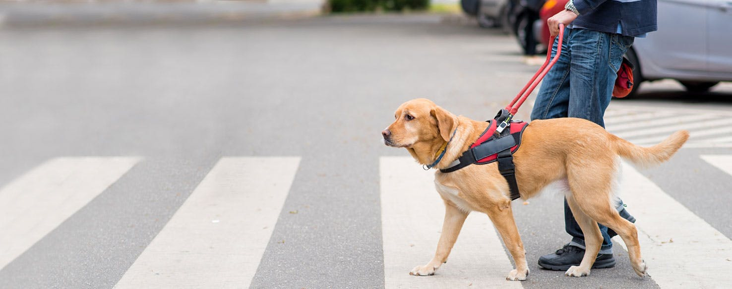 Guide dogs for the blind puppies